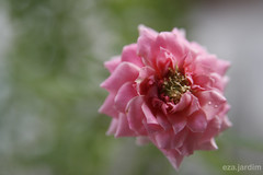 Dia 052 (eza.jardim) Tags: pink rose flor rosa project365 minirosa projeto365