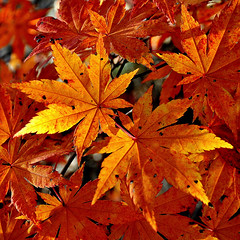 Japanese Maple (tonnyc) Tags: autumn color macro fall nature leaves japanesemaple vanagram