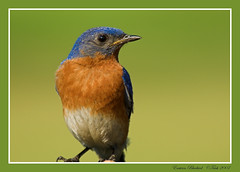 Eastern Bluebird (Momba (Trish)) Tags: blue green bird nature birds interestingness nikon tennessee feeder explore bluebird nikkor avian songbird momba easternbluebird sialiasialis naturesfinest 80400mmf4556dvr nikond200 featheryfriday interestingness295 i500 specnature qemdfinch anawesomeshot colorphotoaward ourwonderfulworld avianexcellence explore20june2007 commonnameeasternbluebird scientificnamesialiasialis