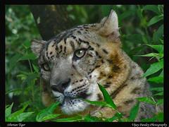 Himalayan Snow Leopard (VIjay Pandey) Tags: vijay india snow tiger leopard soe siberiantiger snowleopard pandey naturesfinest parkstock supershot uttranchal flickrsbest specnature uncia specanimal animalkingdomelite impressedbeauty diamondclassphotographer ysplix excellentphotographerawards vijaypandey