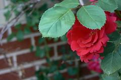Coquette (Jolly Ole Shannon) Tags: red flower brick green rose lumix redrose shy panasonic hiding coy coquette climbingrose dmcfz7