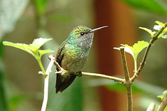 Beija-flor / Humming bird