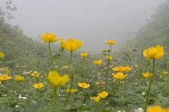 チシマノキンバイソウの花畑