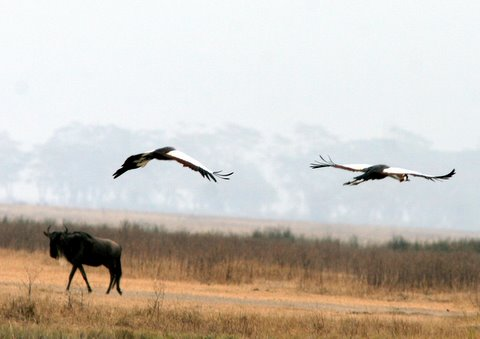 Crowned Cranes fliying over a Wildebeest
