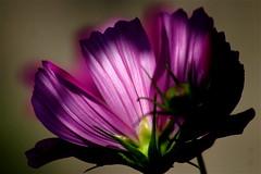 (mightyquinninwky) Tags: flower green dof purple bokeh award bud invite superbmasterpiece wowiekazowie bestofformyspacestation