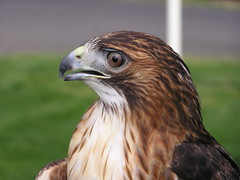 Captive Red-tailed Hawk (ravenintherain) Tags: birds raptors hawks