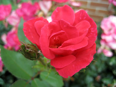 knock out roses august 2007