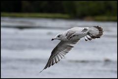 Flying gull (Luc Deveault) Tags: canada bird contrast canon flying dof quebec sharp qubec luc rebelxt animalplanet oiseau mouette terrebonne goeland canonef70200mmf4lusm photosafarimtl psm090907 deveault lucdeveault