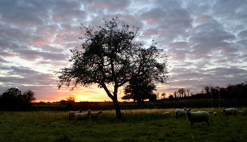 Sunset and sheeps