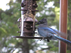 bird feeder stellersjay