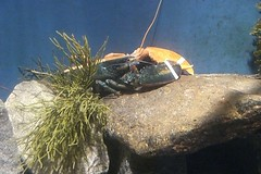 Half blue-half orange lobster