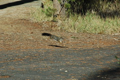 Black tailed squirrel midair (Lippy Librarian) Tags: lake fish 907 redfishlake