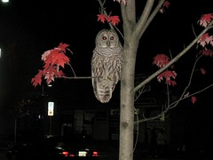 Downtown Barred Owl - Strix varia - Haney BC (rog45) Tags: canon bc mapleridge memorialpark barredowl strixvaria haney rog45 224th sd1100is jimspizza