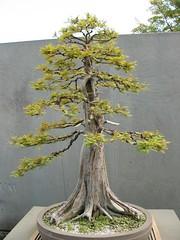 Bald cypress bonsai (ava111sk/Dollypimp) Tags: garden japanese us dc washington north american bonsai pavillion nationalarboretum penjing