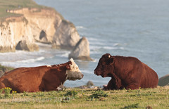 Bovine mind-meld at Freshwater Bay. (s0ulsurfing) Tags: ocean uk autumn sea two england cliff blur water grass animal animals rural canon happy photography coast cow october focus couple thought peace dof cattle cows bokeh farm pair farming content cliffs moo coastal isleofwight thinking 7d coastline meditation livestock bovidae bovine wight 2010 freshwater contented westwight ungulates freshwaterbay tennysondown dairycow mindmeld pastural tennysontrail s0ulsurfing coastuk jasonswain welcomeuk