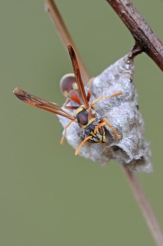 101030 - Paper Wasp