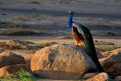 Sunrise at Uraniya (Sara-D) Tags: nature birds sunrise canon wildlife indian aves srilanka ceylon peafowl yala sarad indianpeafowl phasianidae supershot asianwildlife saranga birdsofsrilanka slbsunningwarming sarangadevadealwis birdsofsouthasia wildsrilanka sarangadeva