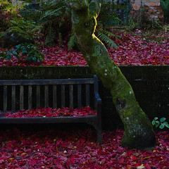 Bench under maple (Skink74) Tags: uk autumn red england fern brick green 20d leaves wall garden bench moss maple hampshire canoneos20d trunk hellebore damp hursley nikkor35f14 nikkor35mm114ai