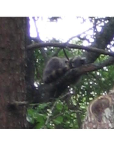 Not a lemur