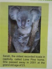 Sarah the koala