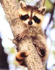 Bill Ivy Baby Raccoon