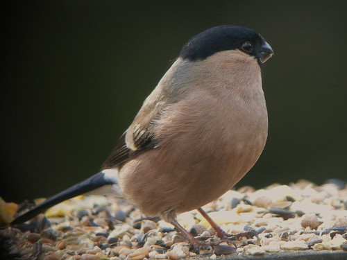 Female Bullfinch at Pennington Flash