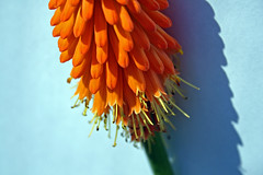 Red Hot Poker ((Andrew)) Tags: macro 321 vivd redhotpokers thebigone flickrspecial 5for2 photostudioinabox