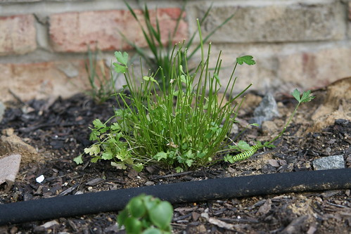 decimated parsley