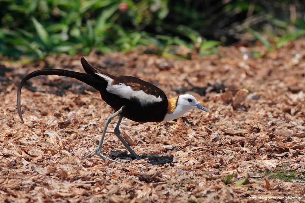 Pheasant-tailed Jacana 水雉-5