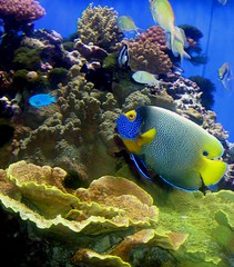 Coral explorers, Ocean Life (moonjazz) Tags: ocean life california blue sea fish color colour water beauty animal yellow coral swim aquarium eyes marine underwater purple bright exploring vivid scales tiny tropical environment variety fin reef adaptation reefs scripps