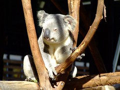 Life's Good (End of Level Boss) Tags: australia koala cuddly qld queensland lou marsupial australiazoo 2007  coala    koaala     koal      hayopngkoala  gingaithucchu