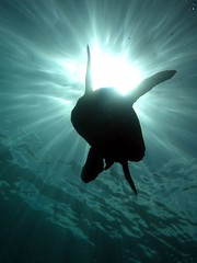 heavenly (shappell) Tags: light sea sunlight green water hawaii underwater turtle maui hawaiian honu heavenly