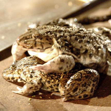 Yangshou Frog