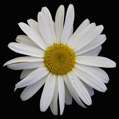 Daisy after rain (John of Dublin) Tags: white flower rain weather yellow garden oneofakind daisy 2007 excellence excellenceinfloralphotography mywinners impressedbeauty flickrenvy amazingshots diamondclassphotographer flickrdiamond empyreanflowers farandawaythebest thatsclassy fiveflickrfavs fiveflickrfaves flowersandgarden worldsbestdazzlingshots flickrelites
