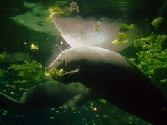 A Manatee in Florida