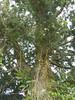 96.02.28百年肖楠巨木群DSCN9075