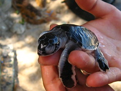 newly hatched sea turtle (glycerine517) Tags: malaysia seaturtle perhentian kecil dlagoon