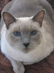 Isabel (Andrew Huff) Tags: cat siamese isabel bella ornery donottouch temperamental