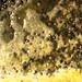 Cuvaison de pinot noir en début de fermentation