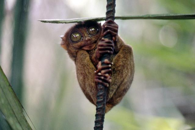 Tarsero tarsier Bohol Filipinas