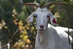 2007-OCT-4-goat1