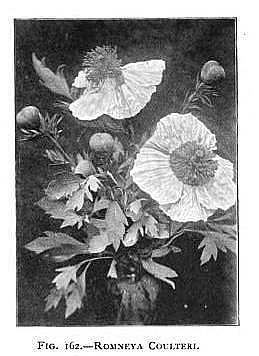 Poppy The Book of Gardening 1900