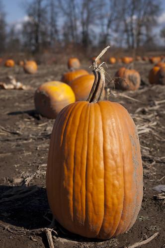 Pumpkin picking 2010 5