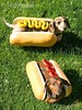 Hot Dogs (ted @ndes) Tags: hot dogs halloween pepper ginger costume sony buns weiner teckel dachshunds a700 halloweiner 16105mm