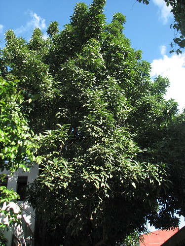 old avocado tree