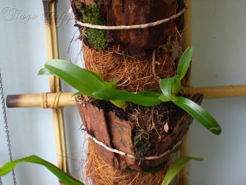 Orquídea em toco de fibra de coco.