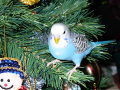 harley on tree (saygabba) Tags: christmas blue budgie