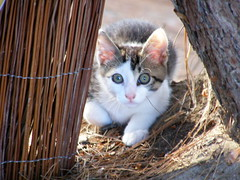 KOSTAS (giotto1959) Tags: cats nature sergio animals cat natura olympus gatto gatti animali cucciolo micio giotto caccia mici nascosto cuccioli preda predatore agguato olympussp500uz giotto1959 olympus500uzsp olympusuz500sp