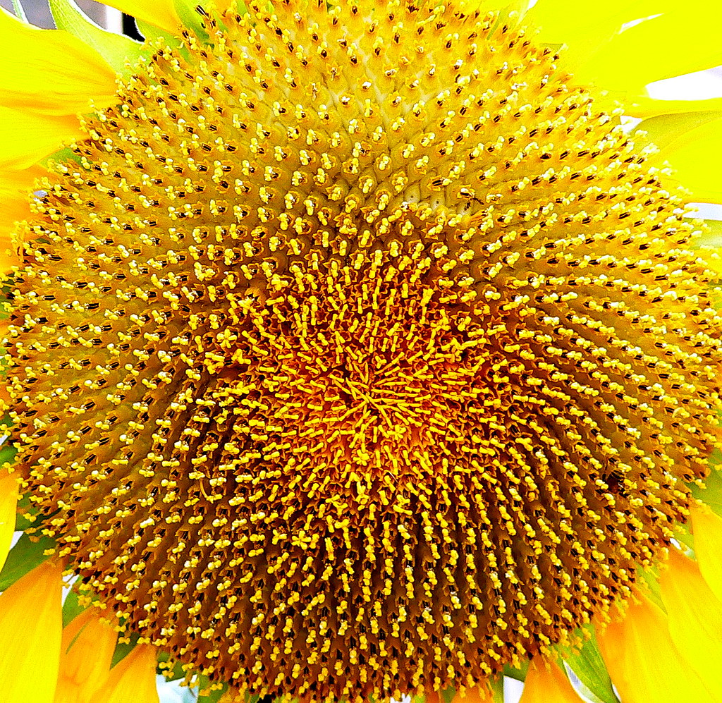 Sunflower Six - Reproduction - Complete With Bee