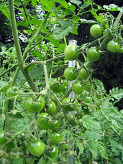 marcellino_tomatoes_7_2007_a